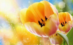 Тюльпаны во всем мире