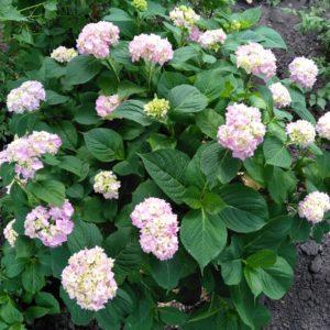 Взрослый куст розовой гортензии в Харькове