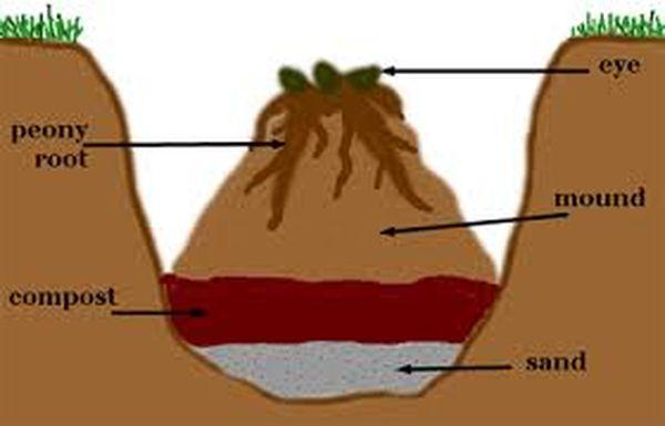 процесс посадки пионов