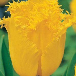 Тюльпан бахромчатый Гамильтон
