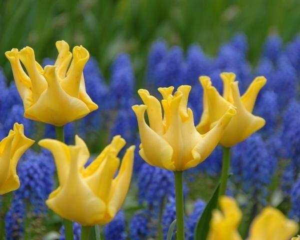 Тюльпан Желтая корона