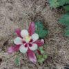 цветок свон ред вайт харьков
