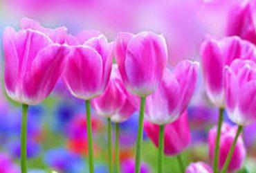 Как сохранить срезанные тюльпаны.