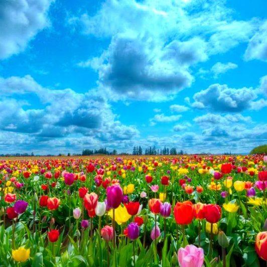 мир тюльпанов