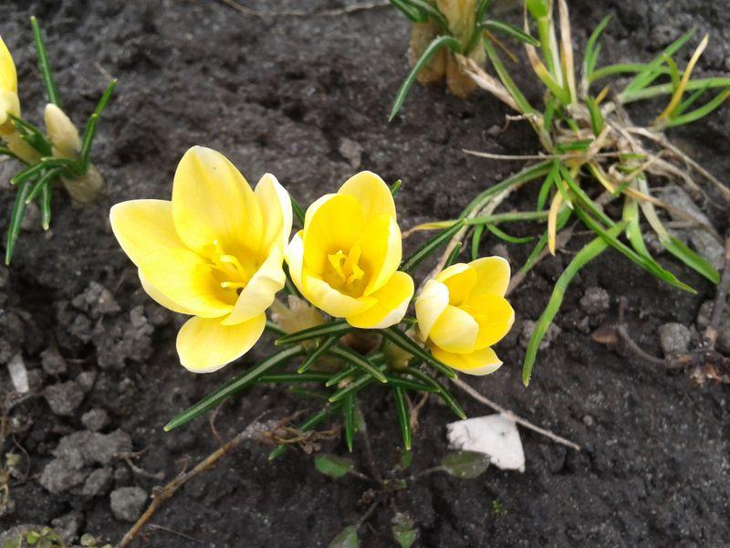 желтый крокус