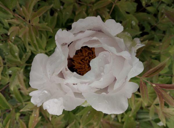 пион белый цветочек